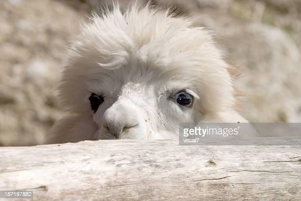 Niedliches Aussehen Alpaka
