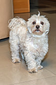 Cute Maltese bichon dog