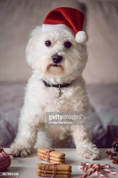 Cute Maltese dog wearing a Santa's hat on Christmas Eve
