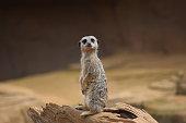 cute meerkat posing in upright position animal