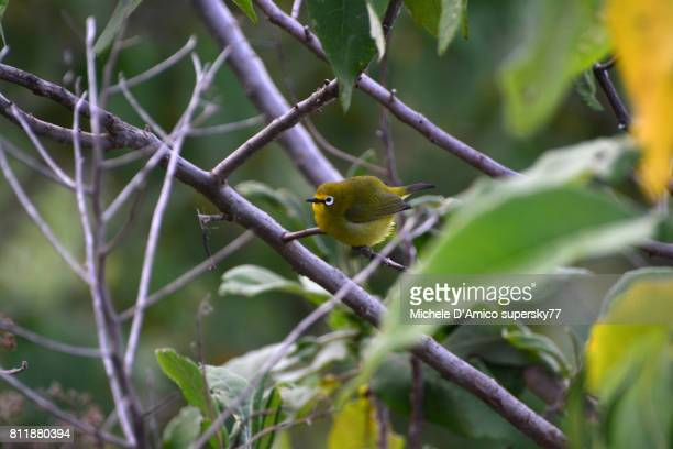 Cute montane white-eye (Zosterops poliogastrus)