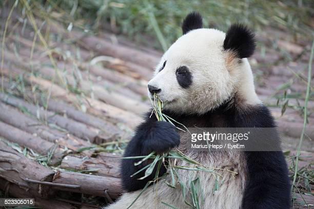 Cute Panda Eating Plant In Zoo