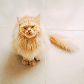 Cute persian cat looking up