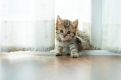 Close up of cute persian kitten sitting on the ground in home.