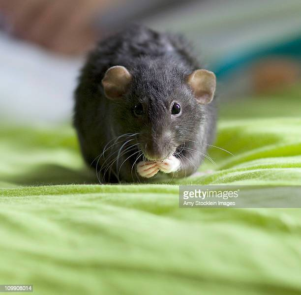 Cute pet rat eating