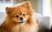 A handsome and content, brown fluffy Pomerain dog sitting on the sofa.