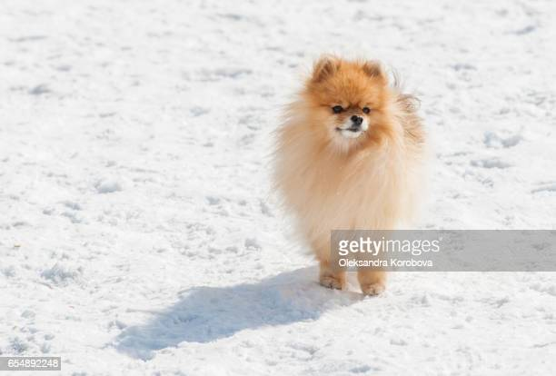 Cute Pomeranian playing outside in cold winter snow.