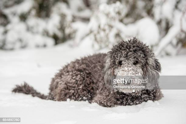 Cute Poodle playing outside in cold winter snow.