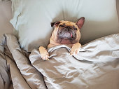Cute pug dog sleep on pillow in bed and wrap with blanket feel happy in relax time