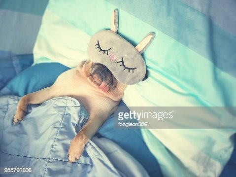 Cute pug dog sleep rest with the funny mask in the bed, wrap with blanket and tongue sticking out in the lazy time : Foto de stock