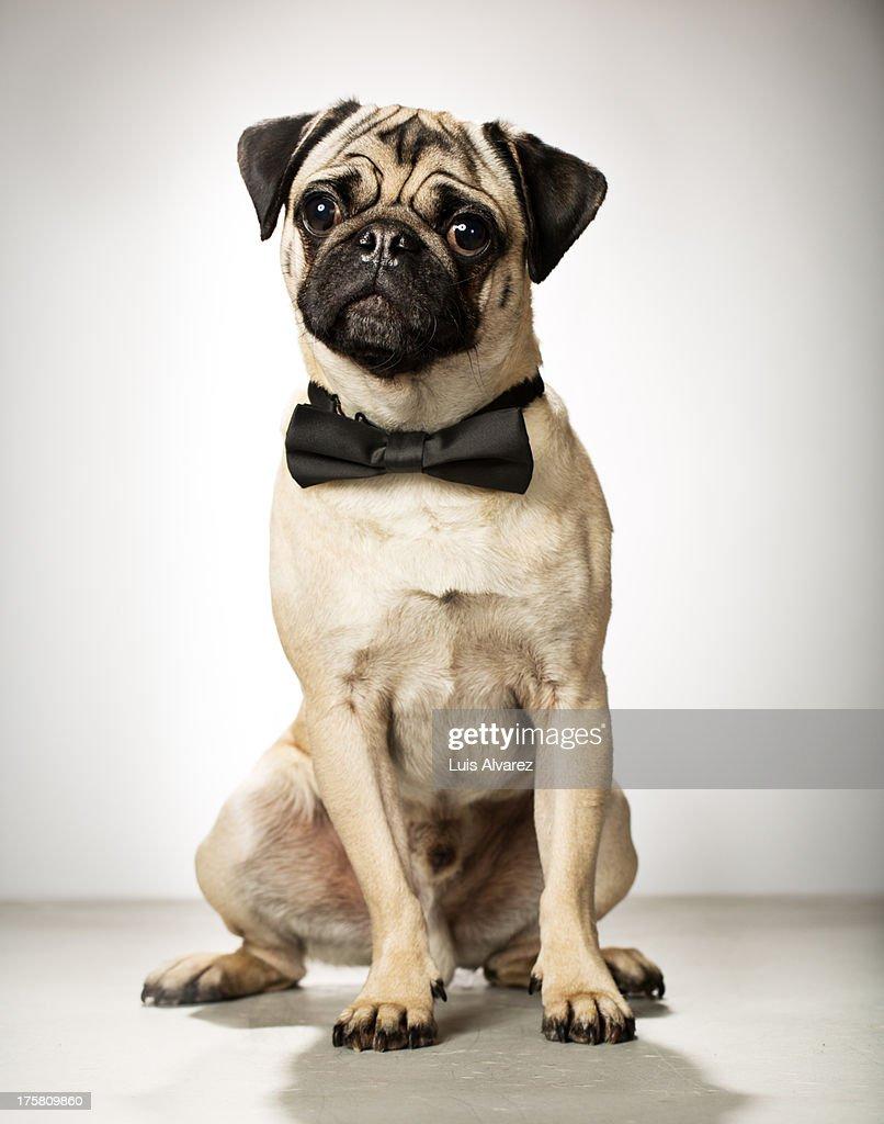 Cute pug : Stock Photo