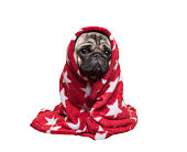 lovely cute pug puppy dog sitting down, rolled up in fuzzy red blanket, isolated on white background