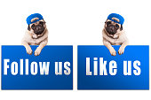 pug puppy dog with blue follow us and like us sign and wearing blue cap, islolated on white background