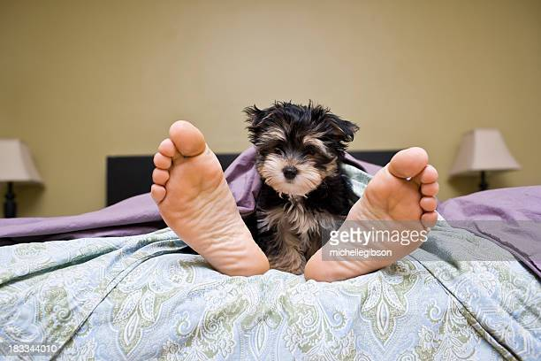 Cute puppy dog beside owner's feet in bed