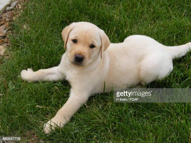 A cute puppy lying down in the grass