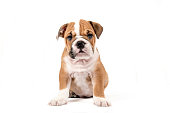Cute puppy of English Bulldog isolated on white background,selective focus