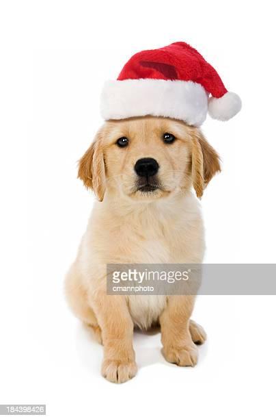 Cute puppy wearing a Santa hat, white background