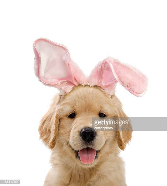 'Easter Bunny Puppy, a 7 week old Golden Retriever wearing pink Easter bunny ears against a white background'