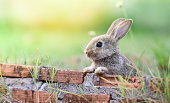 Cute rabbit sitting on brick wall and green field spring meadow / Easter bunny hunt for easter egg on grass and flower outdoor nature background