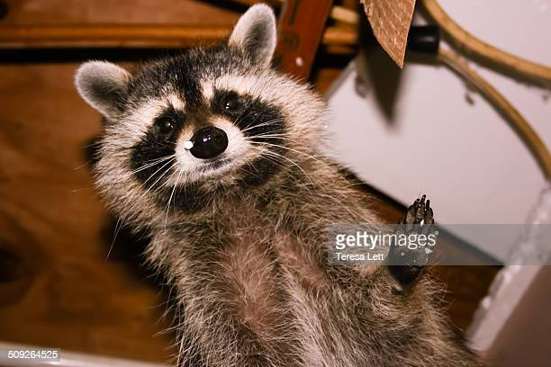 Cute raccoon in attic