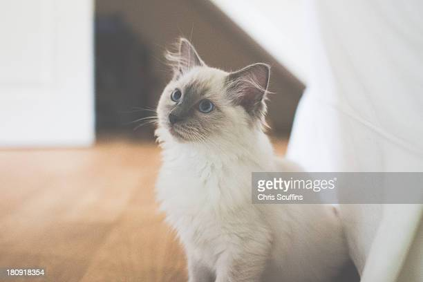 Cute ragdoll cat sitting