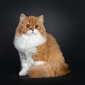 Cute red with white British Longhair cat kitten, sitting  side ways. Looking beside lens with big round brown orange eyes. Isolated on black background. Fluffy tail curled around body.