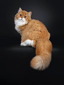 Cute fluffy red with white British Shorthair cat kitten sitting side ways. Looking at camera with big round brown orange eyes. isolated on black background. Majestic tail hanging down from edge.