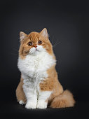 Cute fluffy red with white British Shorthair cat kitten sitting facing front. Looking above camera with big round brown orange eyes. isolated on black background. Majestic tail curled around body.