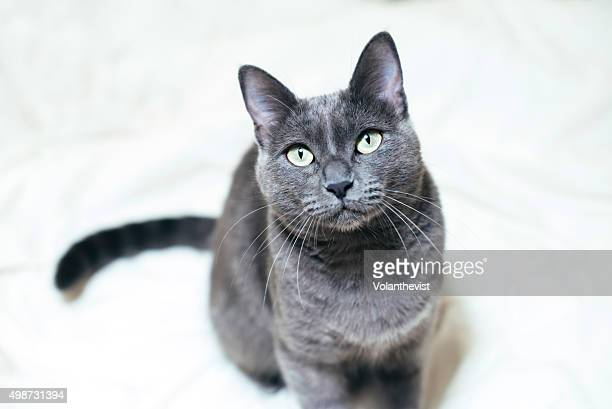 Cute Russian blue cat sitting on the bed (female cat)