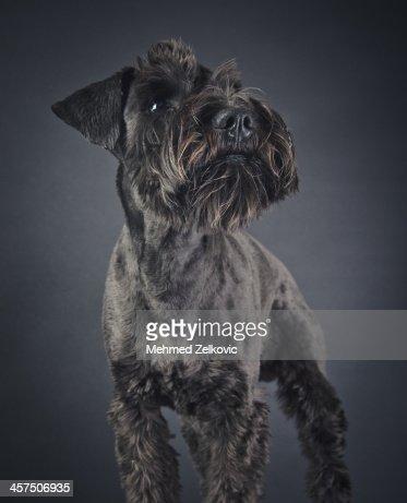 Cute schnauzer puppy : Stock Photo