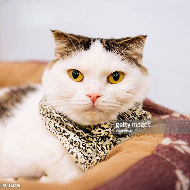 Cute Scottish Fold cat with bandana on neck