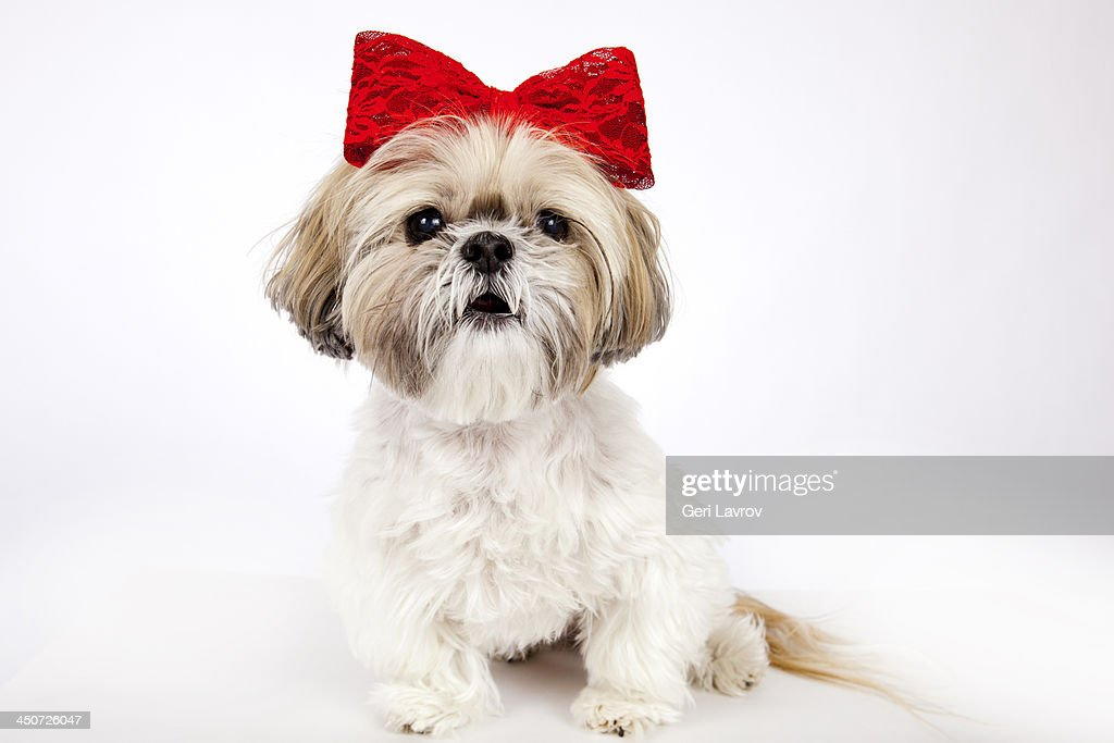Cute Shih Tzu dog wearing a red bow