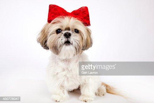 Cute Shih Tzu dog wearing a red bow