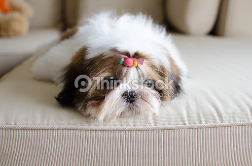 Cute Shih Tzu Puppy Is Crouching On Sofa Stock Photo Thinkstock