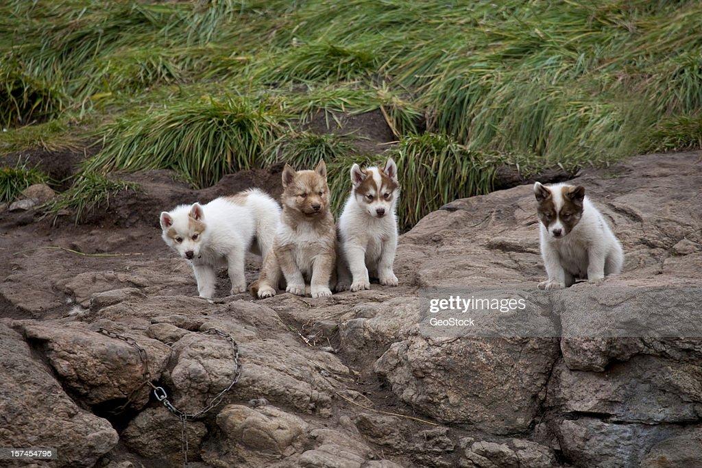 Cute Siberian husky puppies : Stock Photo
