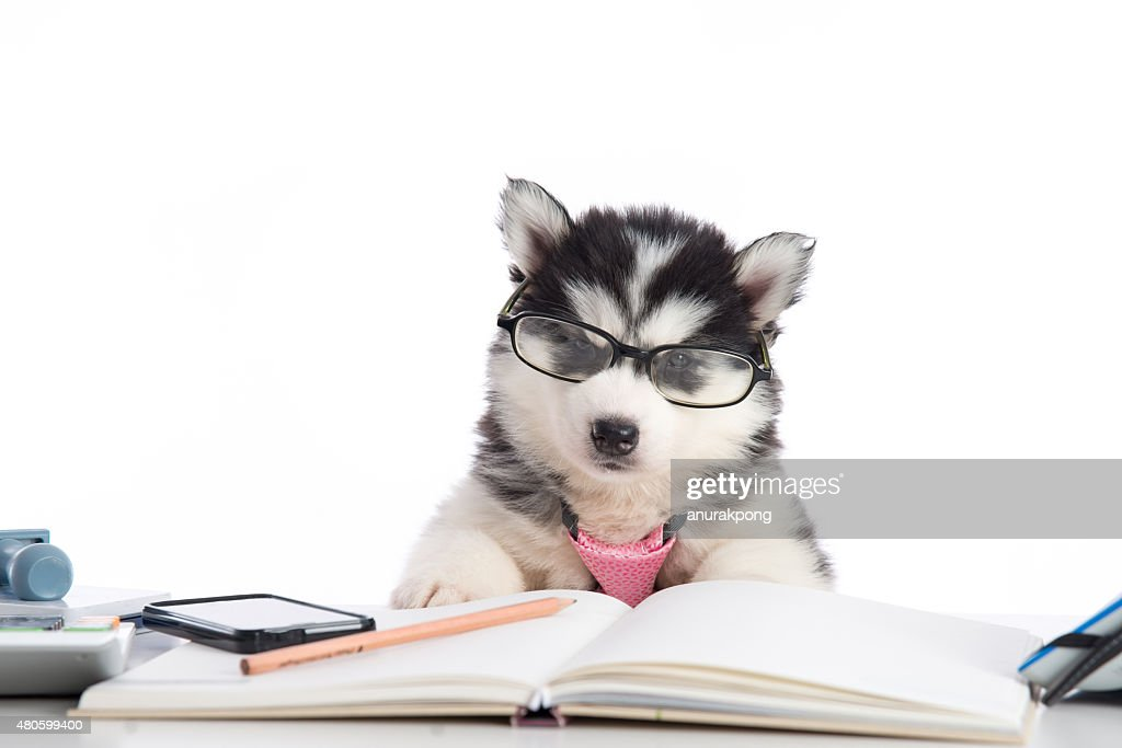 Cute siberian husky puppy in glasses working : Stock Photo