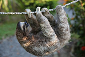 Happy, smiling Sloth climbing on rope. Very shallow depth of field. Rescued Sloth. Pollen on face from eating fresh Hibiscus flowers.