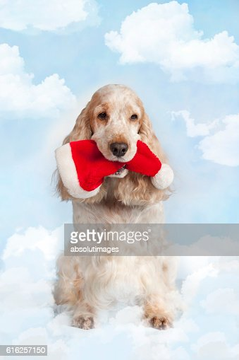 Cute spaniel dog carrying santa hat : Stock Photo