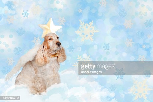 Cute spaniel dog with angel wings : Stock Photo