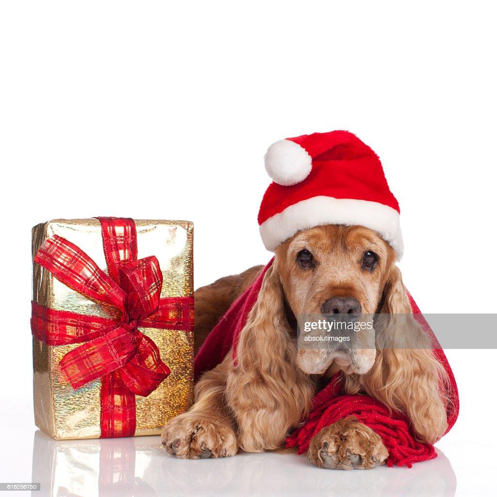 Cute spaniel dog with santa hat : Stock Photo