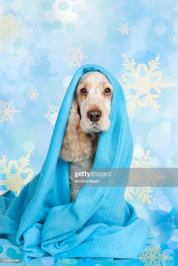 cute spaniel dog wrapped in blue blanket : Foto de stock