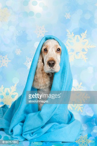 cute spaniel dog wrapped in blue blanket : Stock Photo