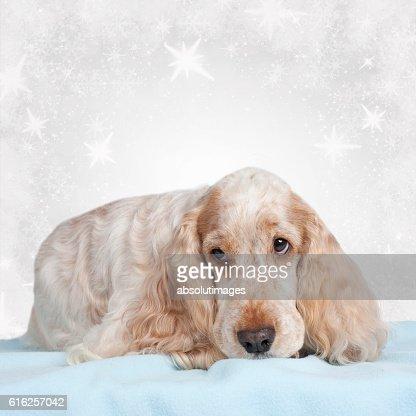Cute spaniel doglying on blue blanket : Foto de stock