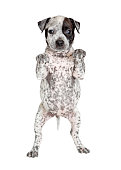 Cute spotted young puppy dog standing up begging with paws up to place your product or sign under