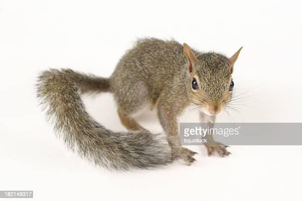 Niedlichen Eichhörnchen II