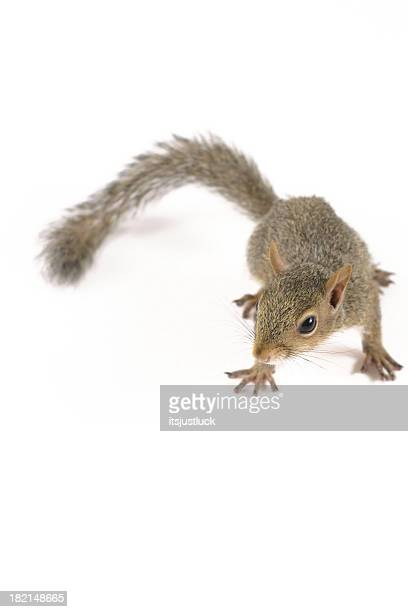Niedlichen Eichhörnchen IV