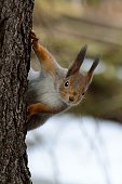 A squirrel peaking behind a tree trunk in Seurasaari island, Helsinki, Finland. Early winter with little snow in the background.