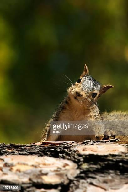 Niedlichen Eichhörnchen