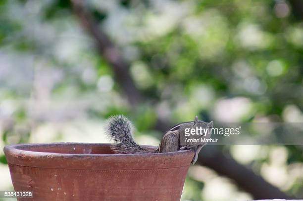 Cute squirrel playing around an earthenware pot in India.