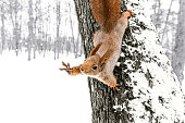 cute red squirrel sitting on tree trunk in winter forest with held out paw